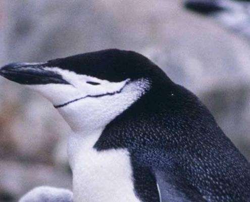 Así luce el pingüino barbijo. / Bioenciclopedia